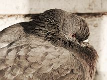 Pomba ou pombo em Veneza, fim acima, retrato foto de stock