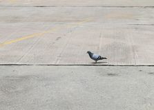 Pomba, pássaro da pomba na terra fotografia de stock royalty free