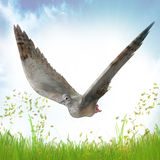 Pomba para o símbolo de paz Fotos de Stock Royalty Free