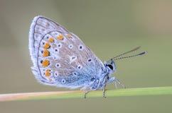 A pomba pequena da borboleta senta-se em um spikelet seco da grama Imagem de Stock