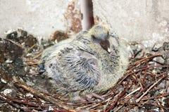 Pomba pequena no ninho Foto de Stock