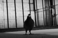 Pomba preto e branco Fotografia de Stock