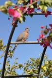 Pomba que senta-se em uma cerca entre os ramos Fotografia de Stock