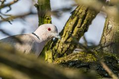 Pomba que senta-se no ramo de árvore Foto de Stock Royalty Free