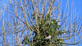 Pomba que senta-se no ramo na árvore, abril, pombo torcaz filme