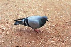 Pomba selvagem cinzenta que anda ao longo da estrada e procura seu alimento imagens de stock