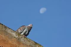 Pomba selvagem e uma lua da manhã Imagens de Stock Royalty Free