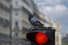 A pomba senta-se em um sinal A luz vermelha está ligada Fotos de Stock Royalty Free