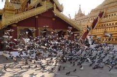 Pombas Imagens de Stock Royalty Free