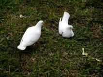 Pombas brancas Foto de Stock Royalty Free