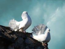 Pombas brancas Fotografia de Stock