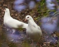 Pombas brancas no jardim Imagem de Stock