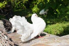 Pombas brancas no parque Imagens de Stock