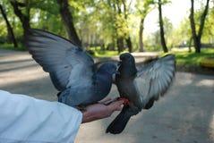 Pombas de alimentação pombos da mão fotos de stock