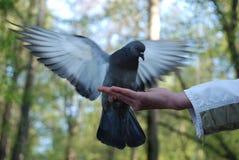 Pombas de alimentação pombos da mão foto de stock