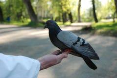 Pombas de alimentação pombos da mão fotos de stock royalty free