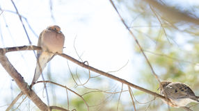 Pombas de lamentação, macroura de Zenaida das pombas da tartaruga em um ramo de árvore Foto de Stock Royalty Free