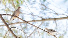 Pombas de lamentação, macroura de Zenaida das pombas da tartaruga em um ramo de árvore Fotografia de Stock
