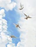 Pombas do branco do grupo Fotografia de Stock