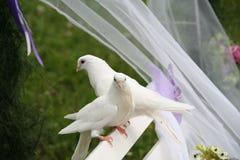 Pombas do casamento Fotografia de Stock