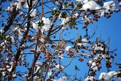 Pombas em uma árvore com neve Imagens de Stock
