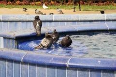 Pombas na água Fotografia de Stock Royalty Free