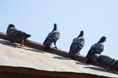 Pombas no telhado fotos de stock royalty free