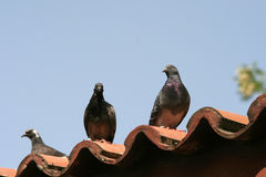 Pombas no telhado Fotografia de Stock