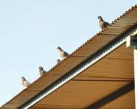 Pombas que olham sobre o telhado Fotografia de Stock Royalty Free