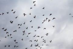 Pombas que voam no céu fotografia de stock royalty free