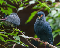 Pombo azul de Madagascan no parque do pássaro de Walsrode, Alemanha Imagem de Stock Royalty Free