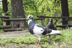 Pombo bonito com uma cabeça branca no parque em um dia de verão, close-up, foco seletivo foto de stock royalty free