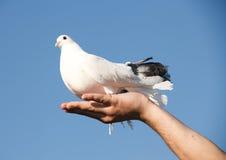 Pombo branco à disposicão imagens de stock