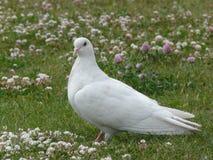 Pombo branco Imagens de Stock