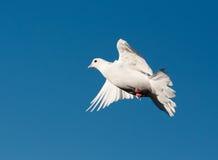 Pombo branco fotografia de stock