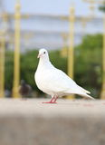 Pombo branco Imagem de Stock