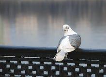 pombo Branco-cinzento Imagens de Stock