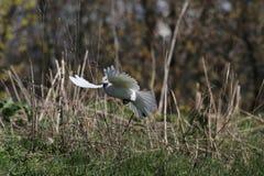Pombo branco do voo Imagem de Stock