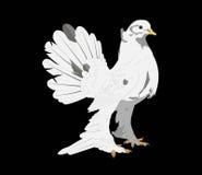 Pombo branco no fundo preto Imagens de Stock Royalty Free