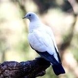 Pombo branco que senta-se na árvore Fotografia de Stock