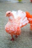 Pombo colorido Fotografia de Stock