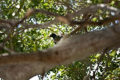 Pombo coroado branco nas chaves de Florida imagens de stock