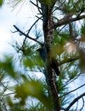 Pombo coroado branco no furo azul nas chaves de Florida imagem de stock