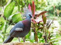 Pombo coroado fotografia de stock
