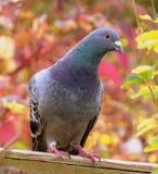 Pombo curioso foto de stock