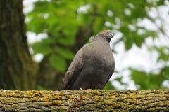 Pombo curioso em um ramo de árvore grande Fotos de Stock Royalty Free