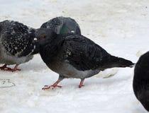 Pombo da cidade na neve imagens de stock