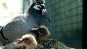 Pombo de direção que alimenta dois bebês recém-nascidos no sótão da casa filme