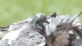 Pombo de direção que banha-se no parque verde vídeos de arquivo