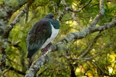 Pombo de Nova Zelândia - novaeseelandiae de Hemiphaga - kereru que senta-se e que alimenta na árvore em Nova Zelândia imagem de stock